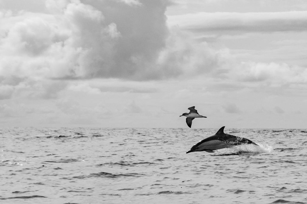 Voyage photo - Le Grand Cachalot des Açores. Puffin cendré et dauphin commun © Wild Seas Explorer