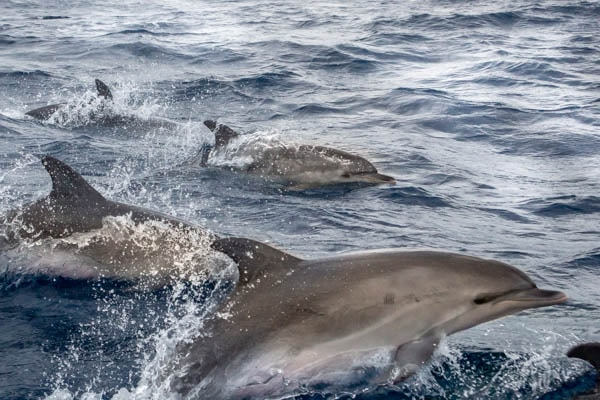 Voyage photo - Le Grand Cachalot des Açores. Dauphins © Wild Seas Explorer