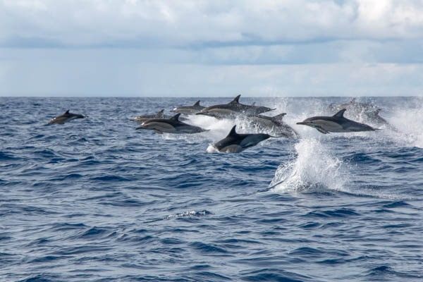 Voyage photo - Le Grand Cachalot des Açores. Dauphins communs © Wild Seas Explorer